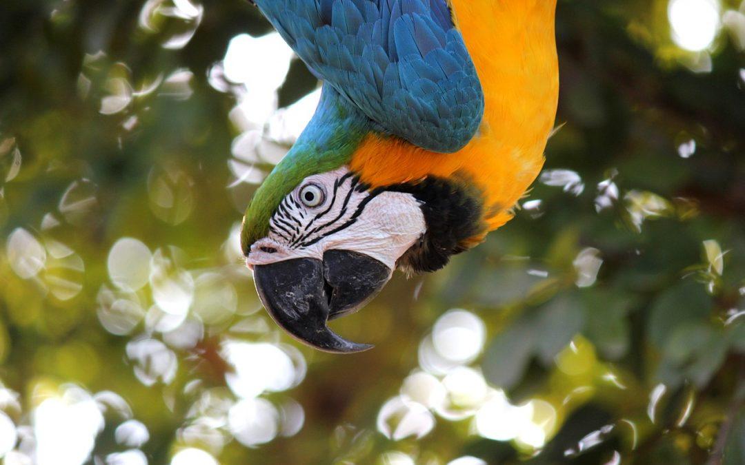 Pan-Amazon Pandemonium